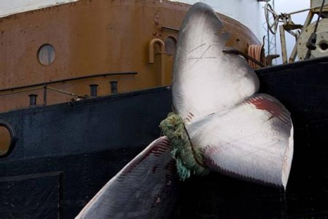 The carcass of a fin whale tied to an Icelandic ...