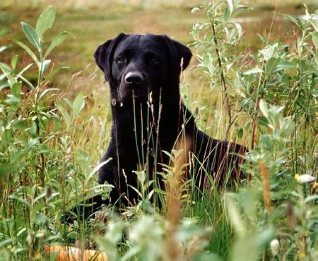 Hundur af Labrador-kyni.