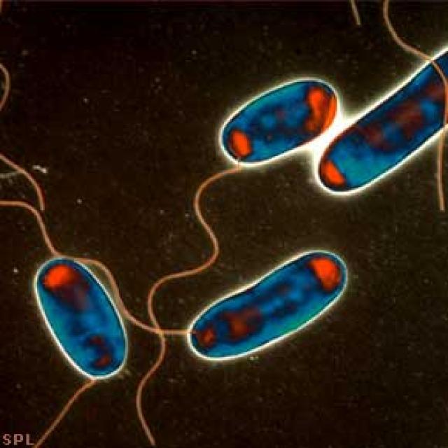 Hermannaveiki orsakast af bakteríu sem kallast Legionella pneumophila.