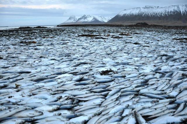 Frá síldardauðanum í Kolgrafarfirði í desember.