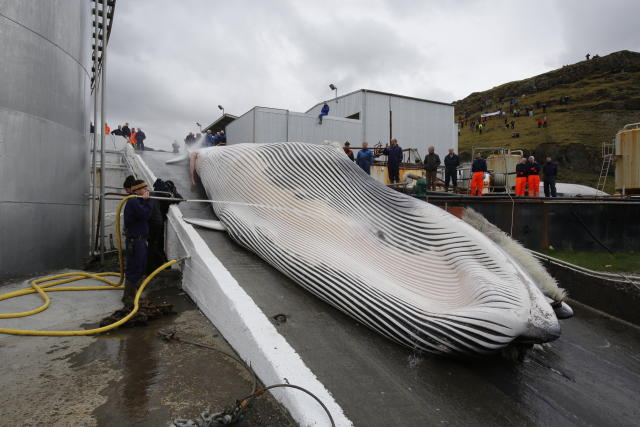 A fin whale being brought onto land.