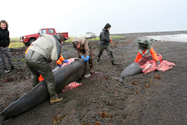 Heimamenn skera dauðan hval í fjörunni í Rifi