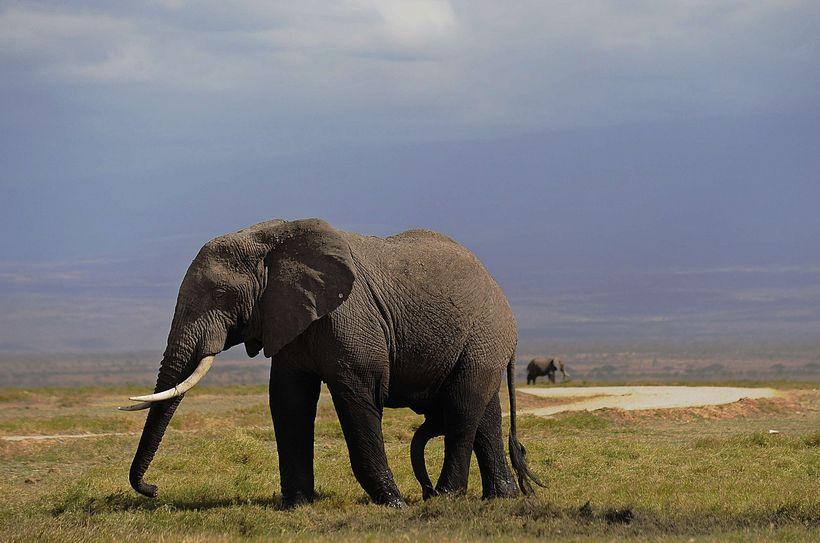 Afríkufíll í Amboseli þjóðgarðinum, um 220 km suðaustur af Nairobi, ...