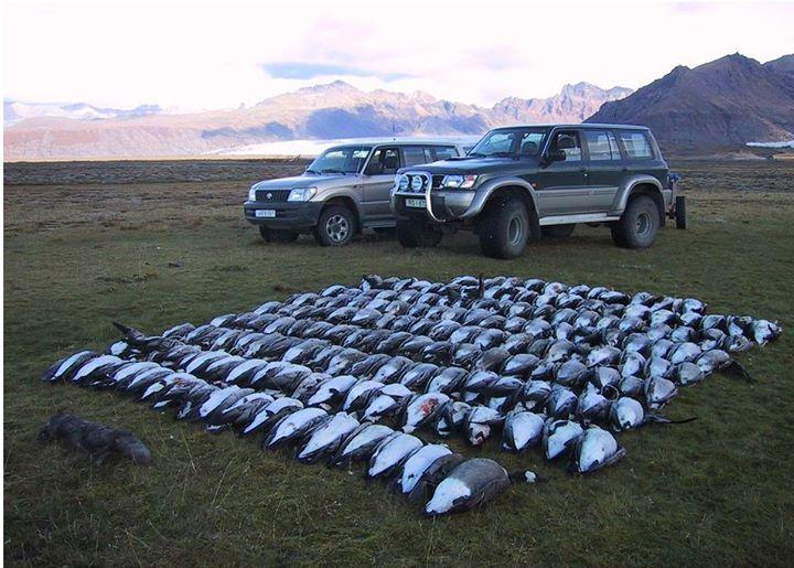 Myndin sem birtist á vefsíðu Icelandic Hunting Adventures. Kanadagæsin er ...