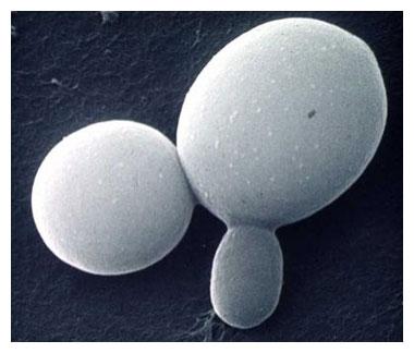 Candida albicans-sveppategundin.