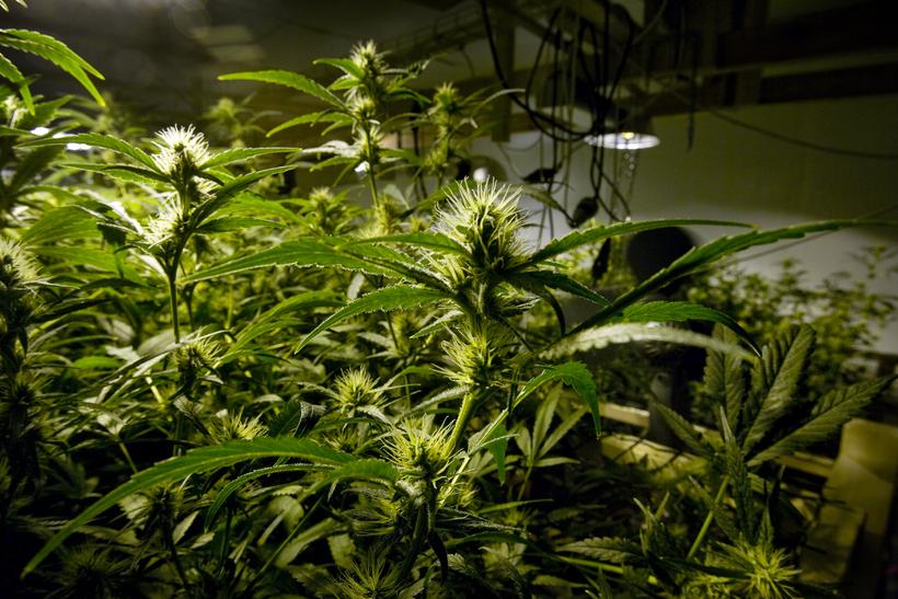 Kannabisplöntur. Myndin er úr safni og tengist efni fréttarinnar ekki ...