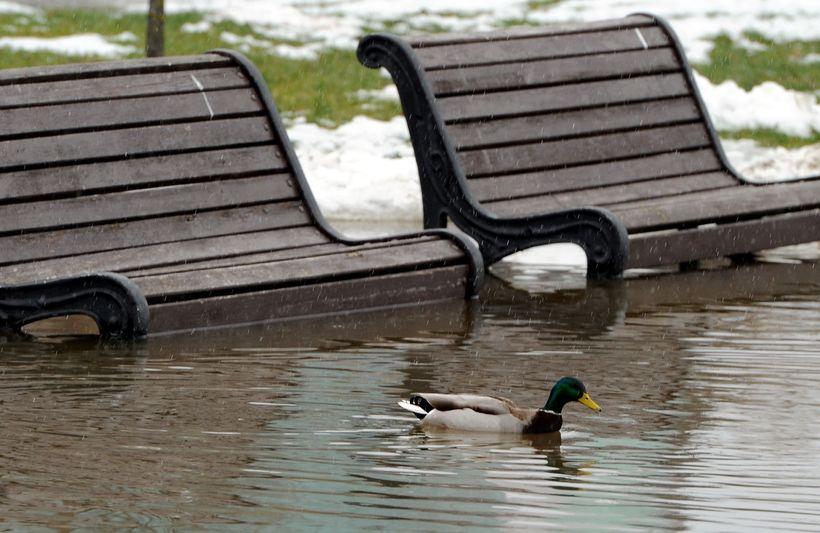 Óvenjuhátt hitastig í Minsk í febrúar kom þessari önd a.m.k. ...