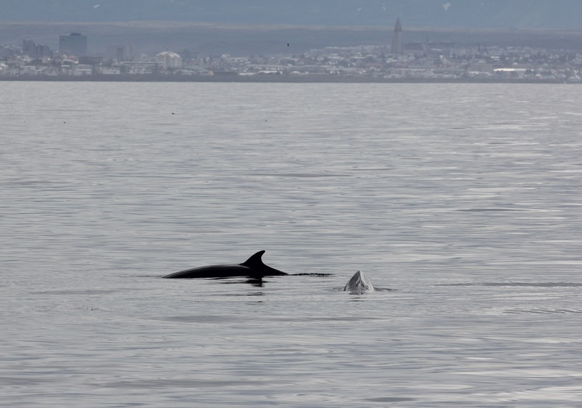 Minke whales are a frequent sight on whale-watching trips.