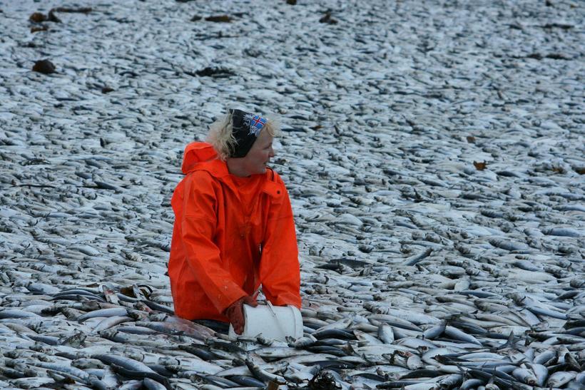 52.000 tons of herring swam into Kolgrafarfjörður and suffocated