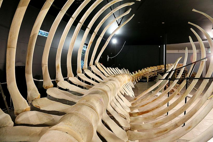 Bones from a blue whale