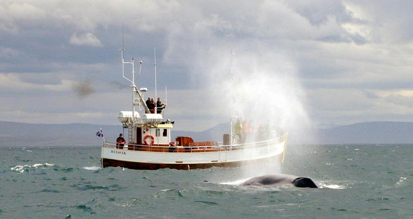 Blue whale spraying water on a whale watching boat at ...