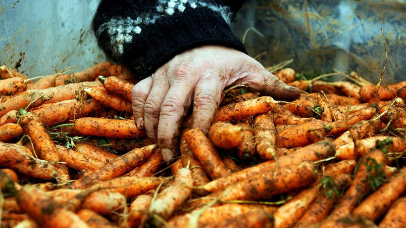 Icelandic carrots grow slowly in the relatively cold summer, making ...