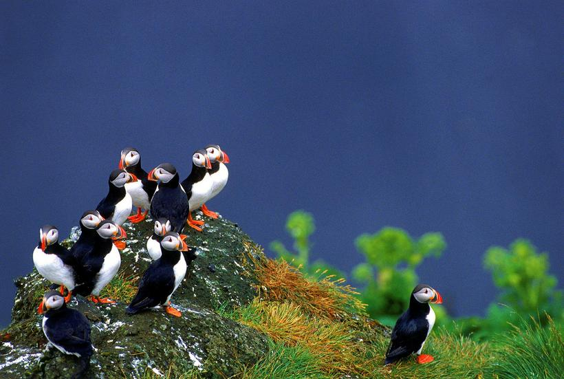 Drangey is one of the biggest puffin colonies in the ...