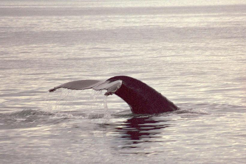 There are plenty of whales in the ocean around Hrísey ...