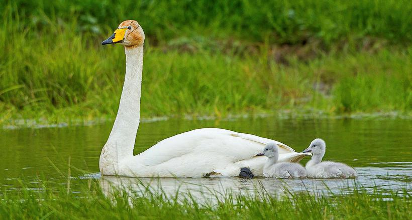 This is the second and third generation of swans that ...