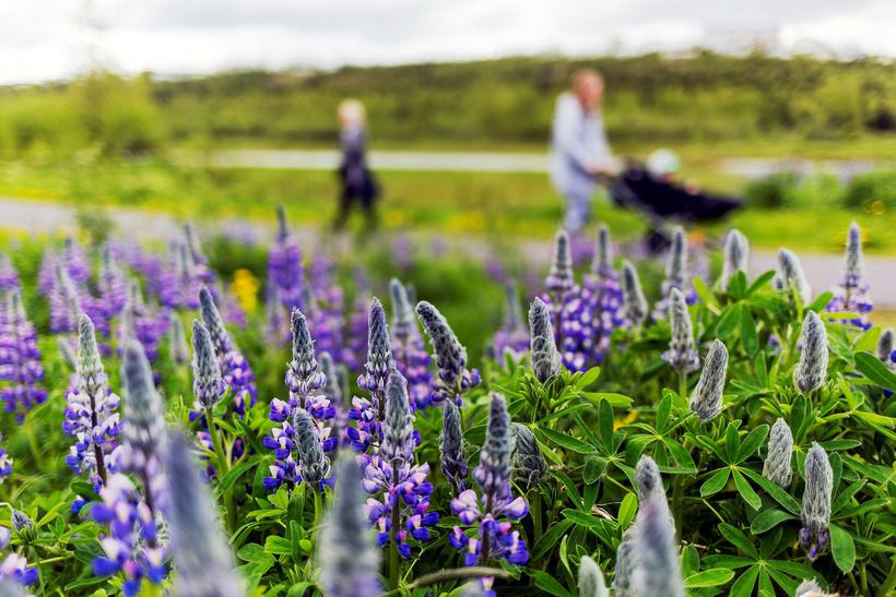 Icelanders have a complicated relationship with lupin flowers. They are ...
