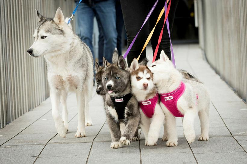 Siberian Huskies on a hike. The puppies are called Krummi, ...