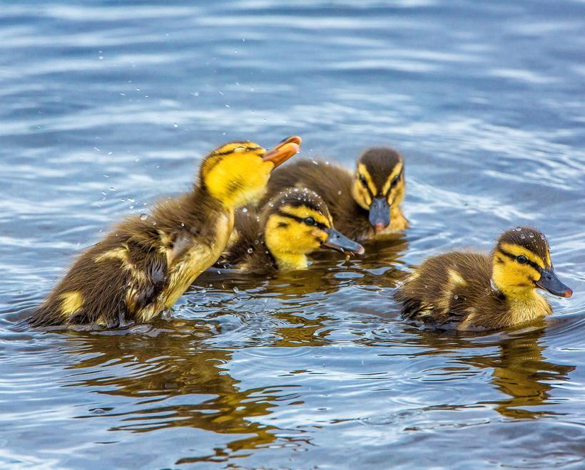 Ducklings on Tjörninn in Reykjavik centre.