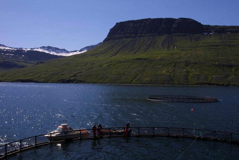 Laxeldiskví í Mjóafirði.