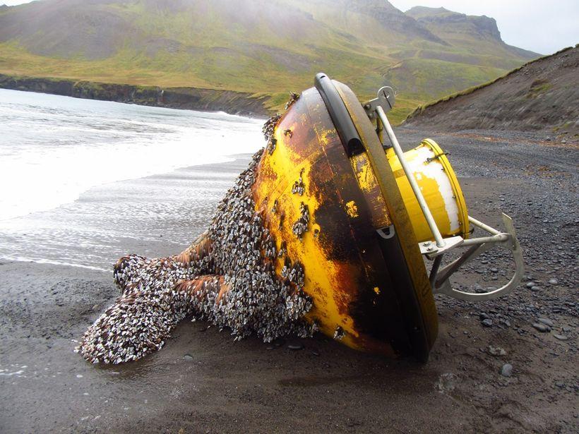 Duflið rak á land í Húsavík á Austurlandi.