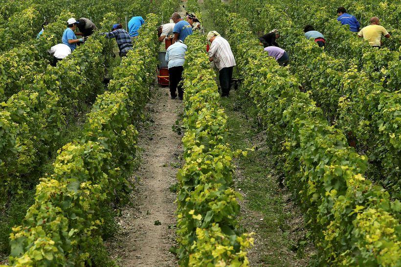 Vínið skorið á ekru Pommery-Vranken við Reims í Frakklandi í ...