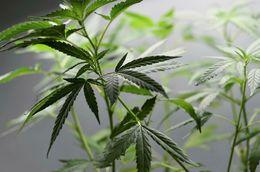 Kannabisplanta. Kannabídól, eða CBD, er eitt af virku efnunum í kannabis. Mynd úr safni.