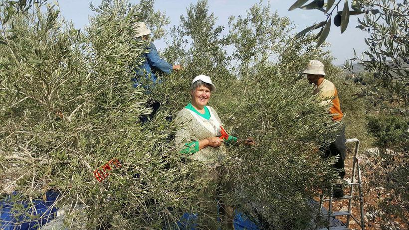 Björk við ólífutínslu í Palestínu.