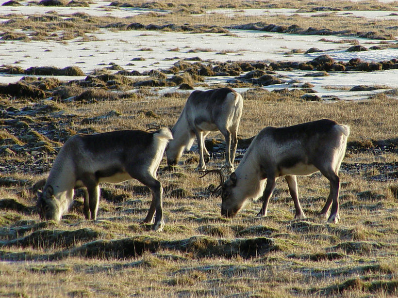 Reindeer grazing just near the ring road.