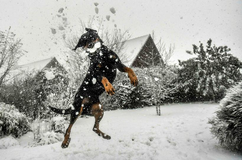 Hundur fagnar snjó í Godewaersvelde í Frakklandi í byrjun desember. ...