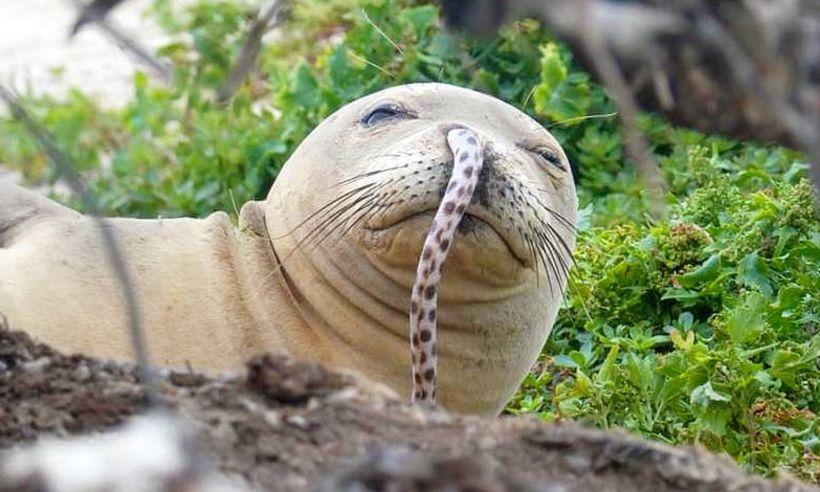 Sandvíkurselur (e. monk seal) með ál í nösinni.