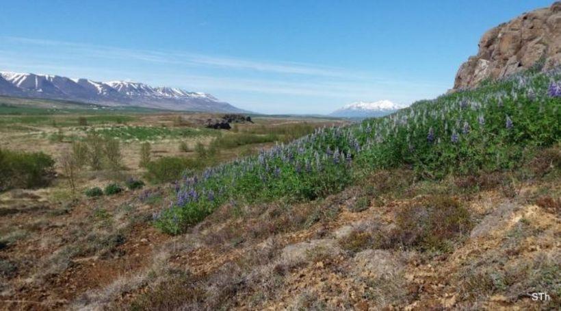 Lúpínubreiða suðaustan Lónsgerðis í Krossanesborgum.