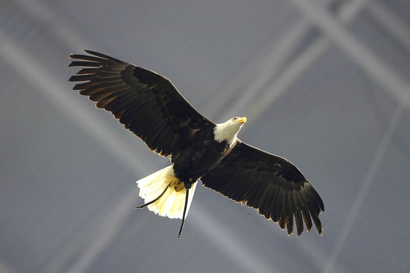 Það var arnadvalarheimilið Wings of Wonder sem kom erninum til ...