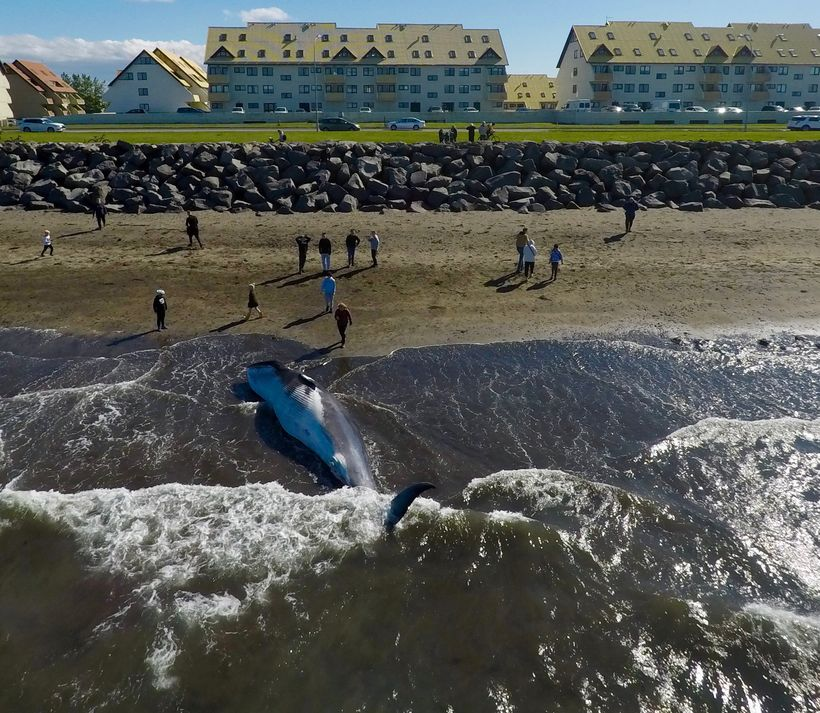 The beached minke whale has attracted a lot of attention.