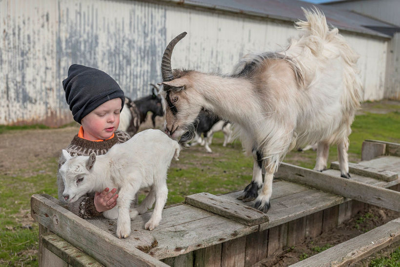 Vilhelm Bjartur enjoys the goats on the farm.