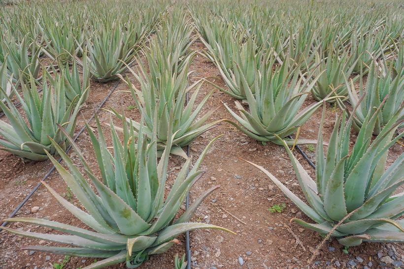 Aloe vera-plantan.