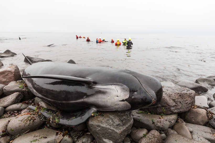 Thirty Pilot Whales Rescued in Reykjanes: Video