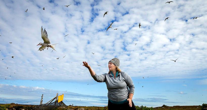 Dr. Freydís Vigfúsdóttir sleppir kríu með GPS-tæki að loknum mælingum ...