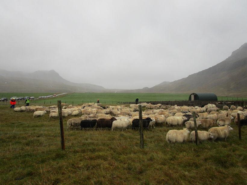 Tvo dagar tekur að smala í Ófeigsfjarðarleit.