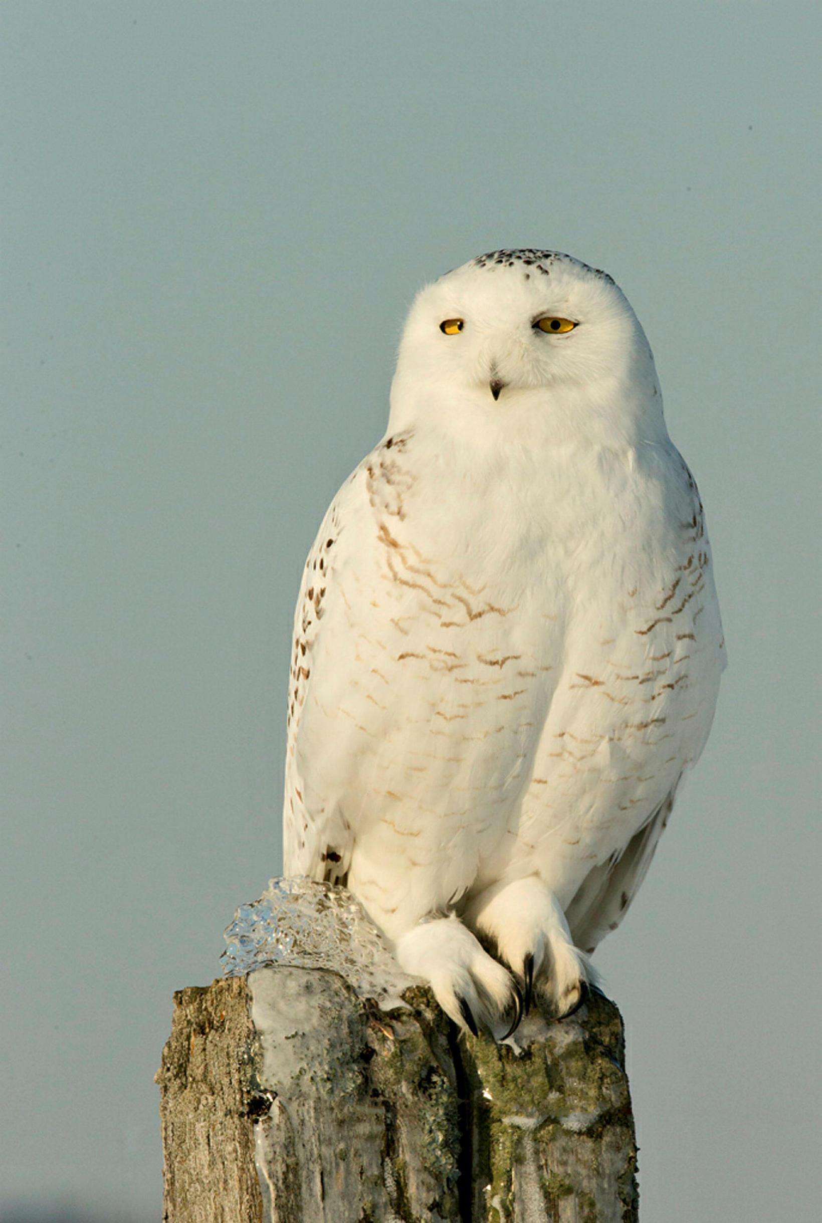 Snowy owl.