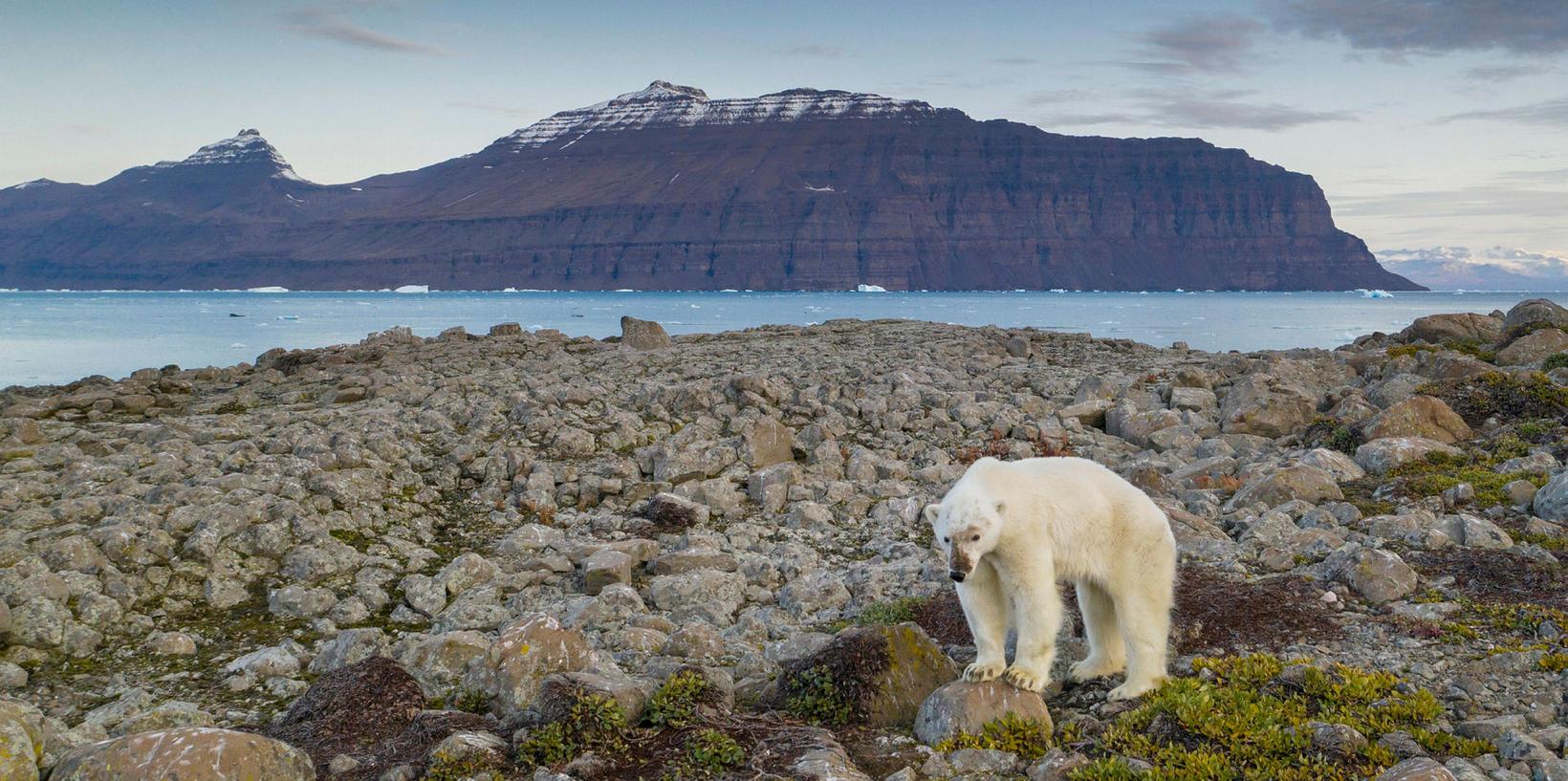 Polar bear in Greenland.