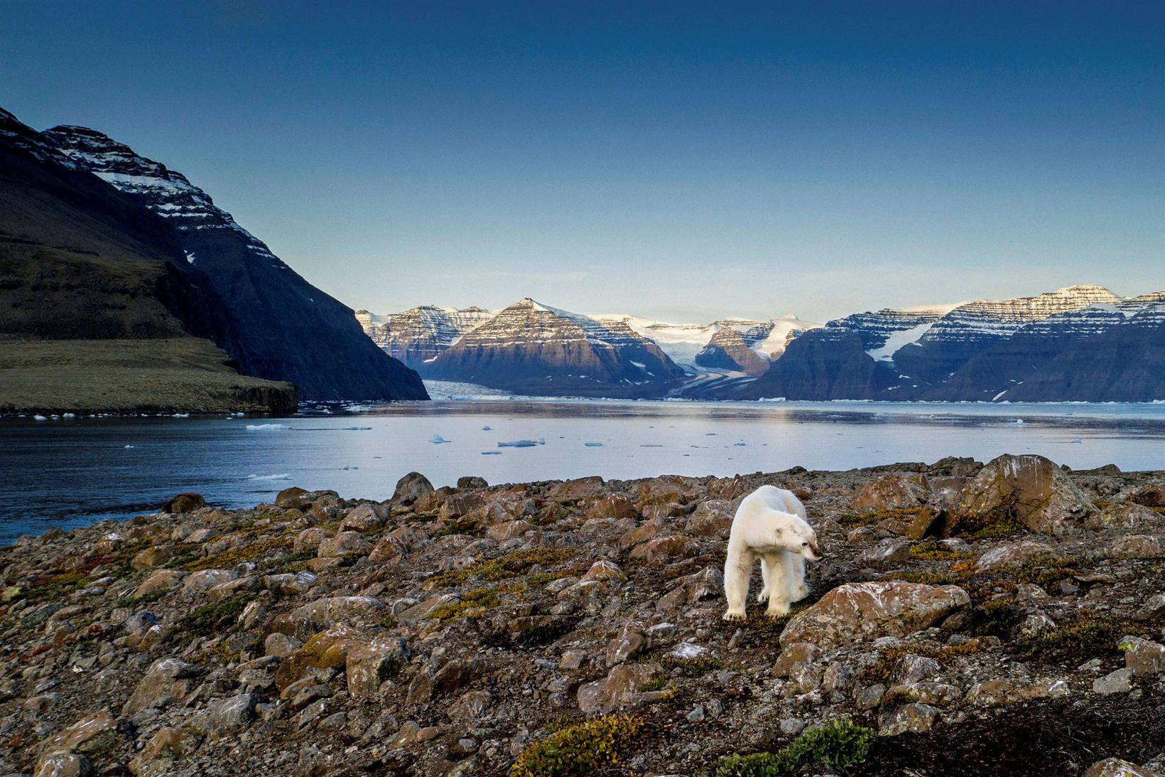 Ísbjörn við Scoresbysund á Grænlandi.