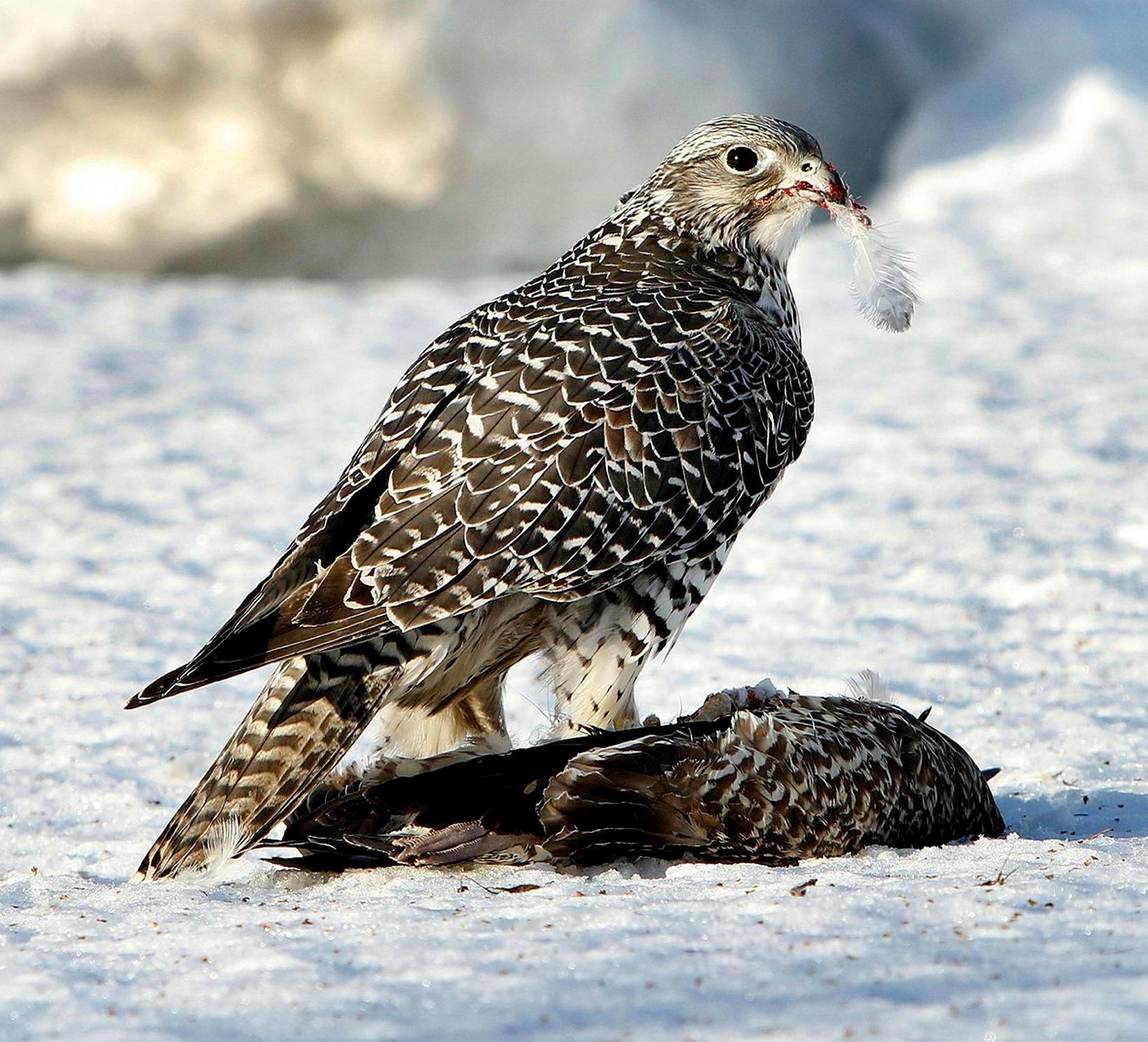 Auk mófugla segir Ólafur að stórtæk skógrækt hefði áhrif á ...
