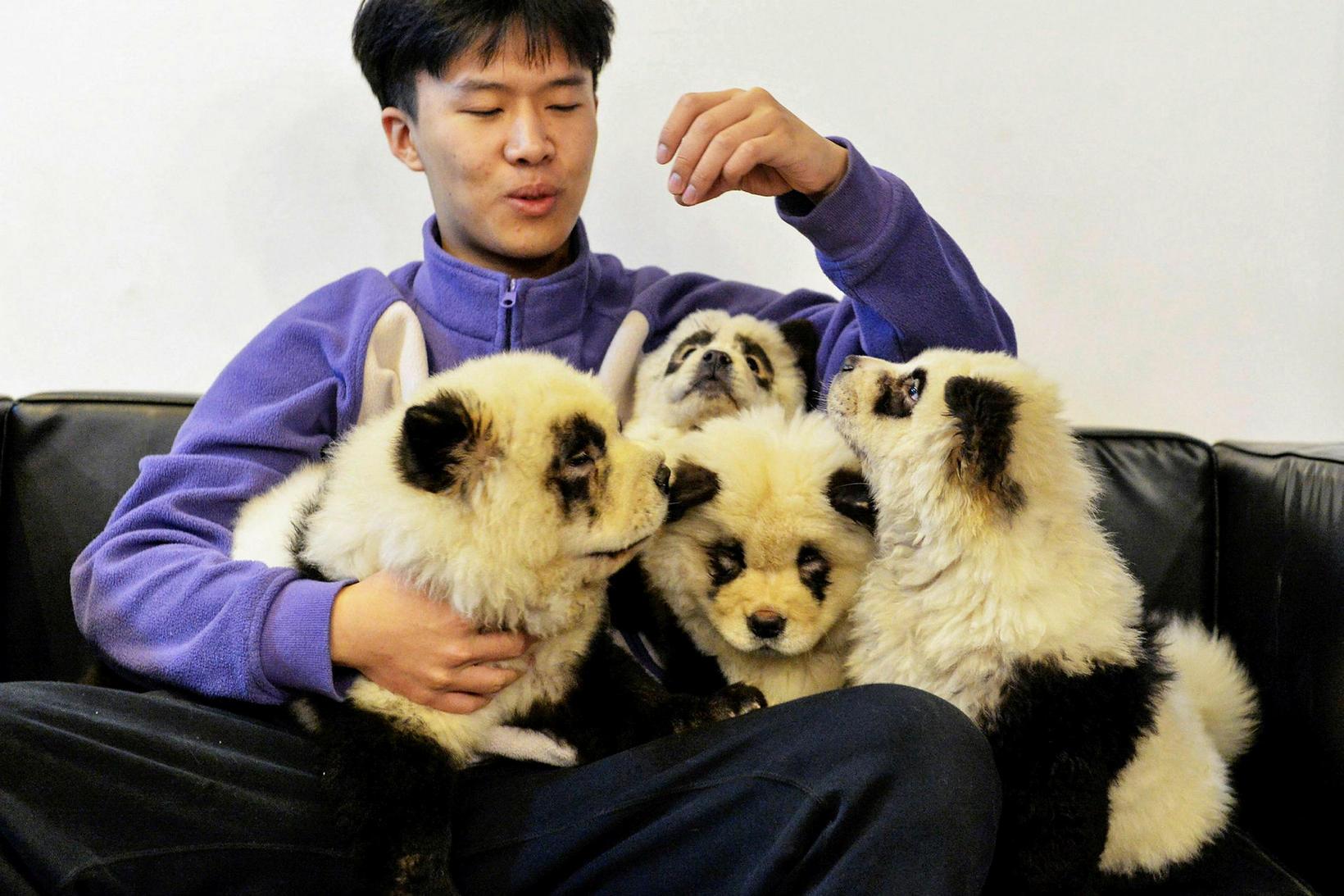 Chow Chow hundar sem hafa verið litaðir til að líkjast ...