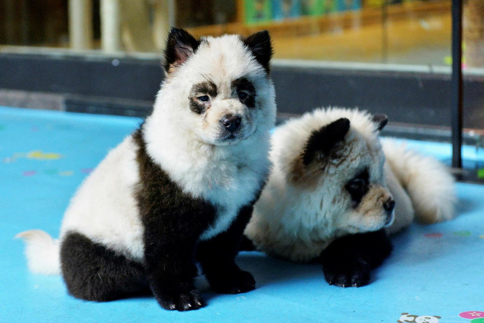 Pandahundarnir á kaffihúsinu Cute Pet Games cafe í borginni Chengdu ...