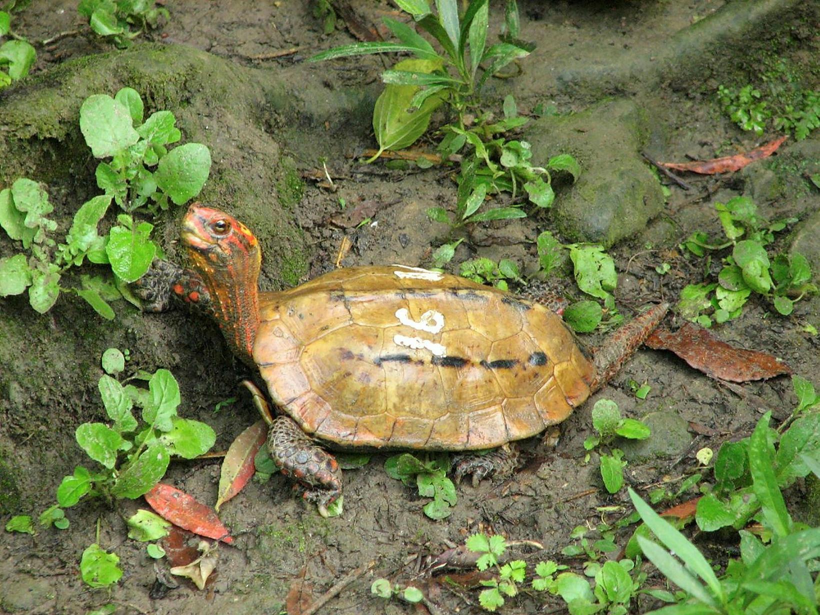 15 skjaldbökur af tegundinni Geoemyda japonica hurfu eru meðal þeirra …