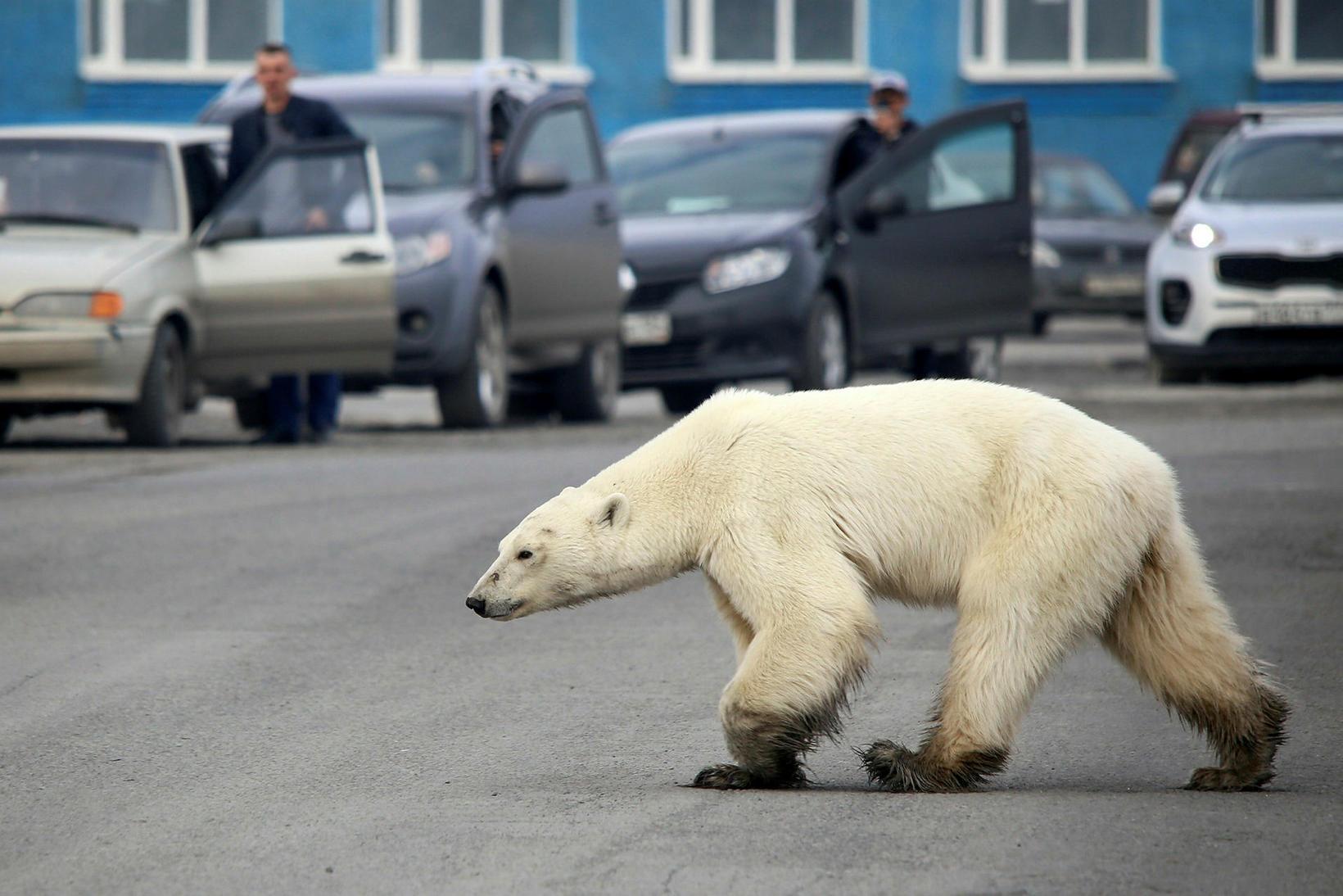 Komum ísbjarna til mannabyggða í Rússlandi hefur farið fjölgandi að …