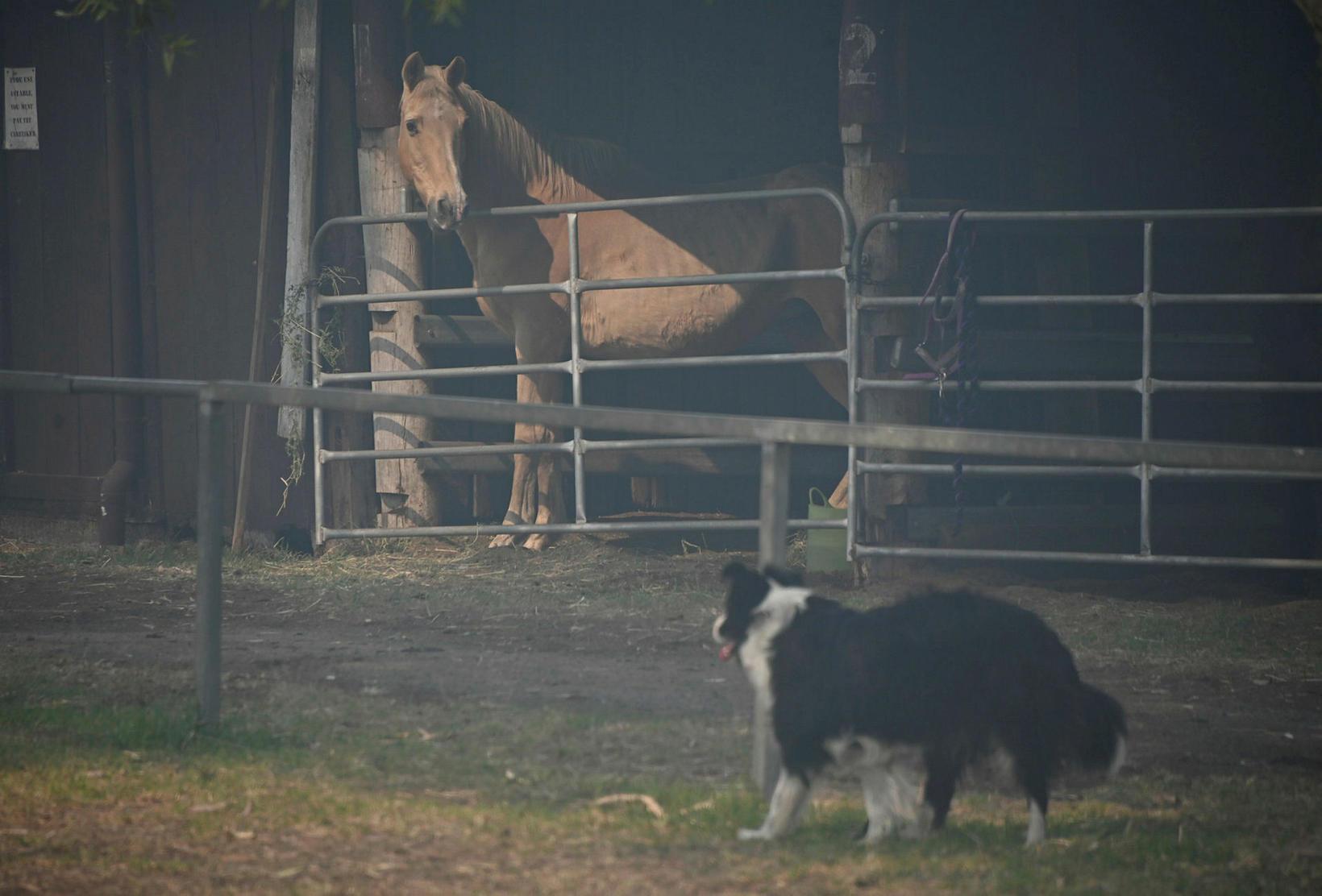 Hestur og hundur sem fluttir voru í skýli vegna gróðureldanna ...
