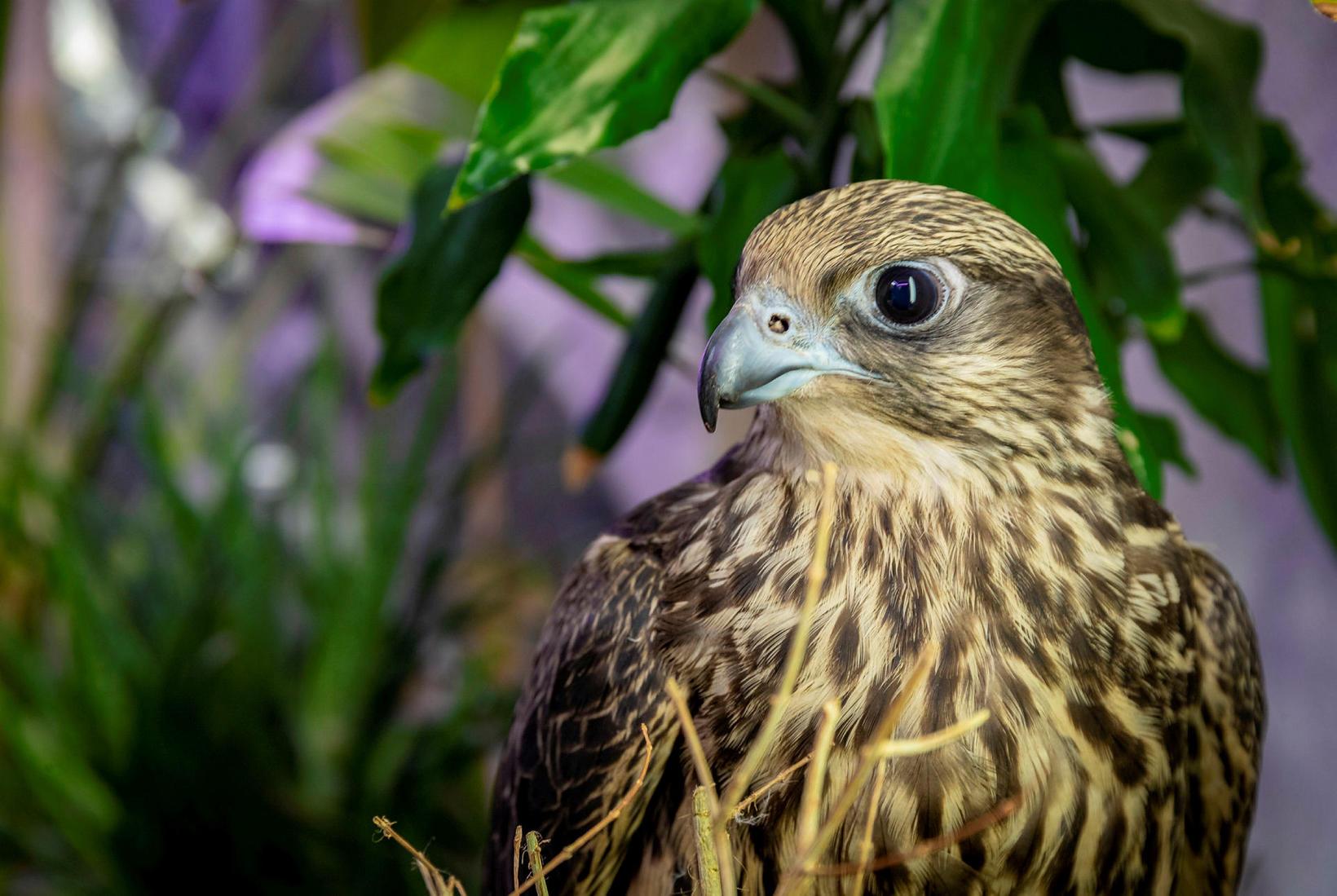 Kría, the falcon.