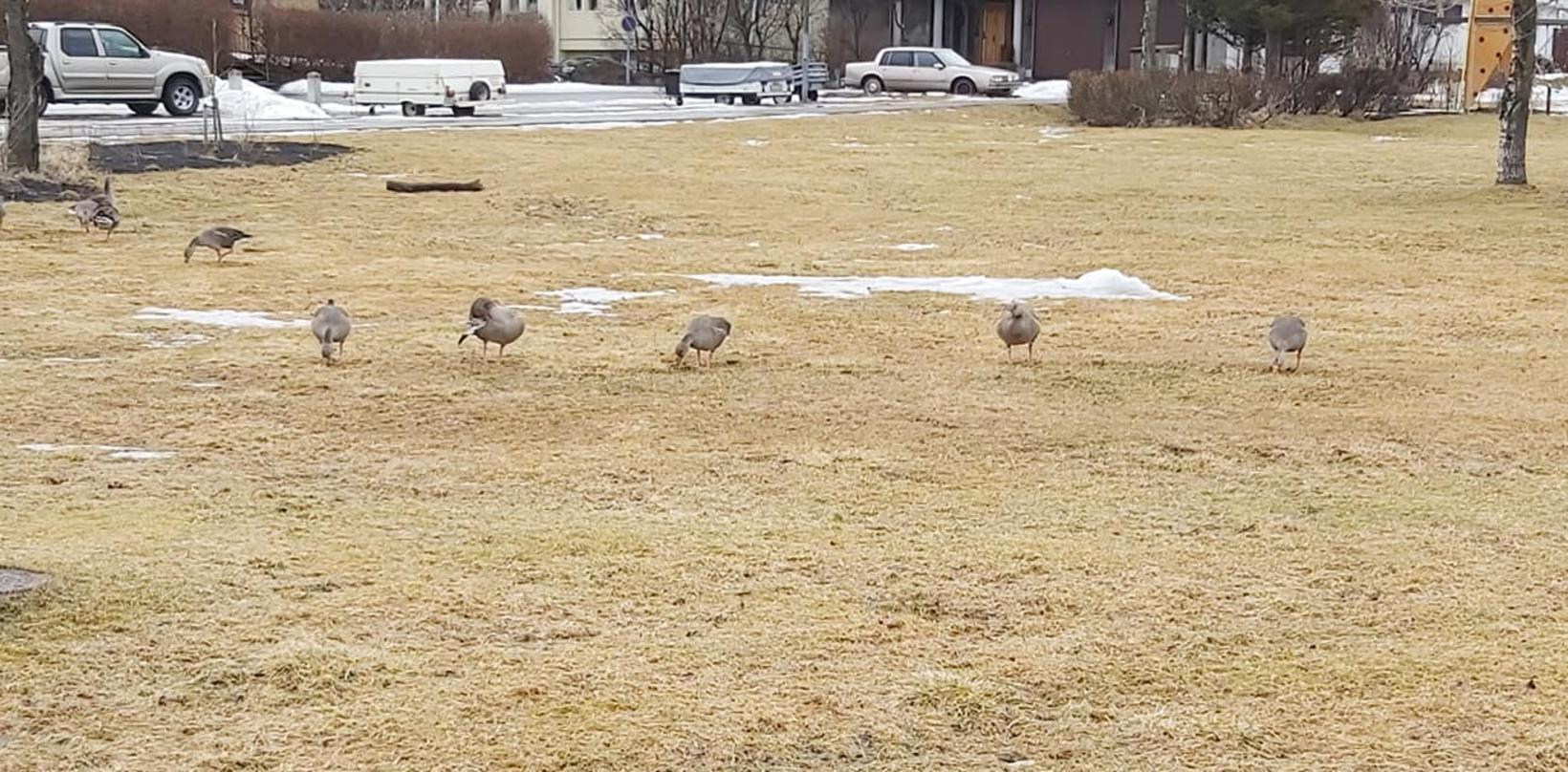 The geese appear familiar with the importance of social distancing.