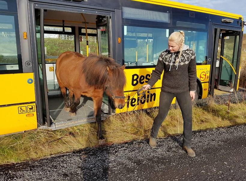 Stormsker er fyrsti íslenski hesturinn sem ferðast með strætó.